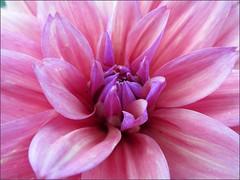 Dahlia, close up