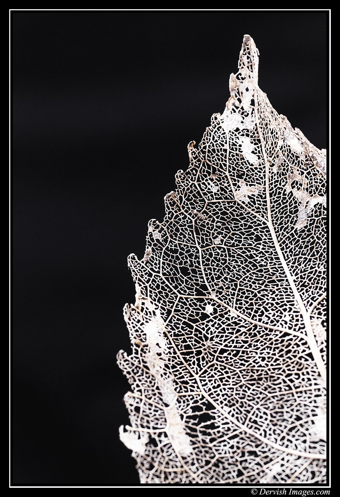 Leaf Skeleton # 3