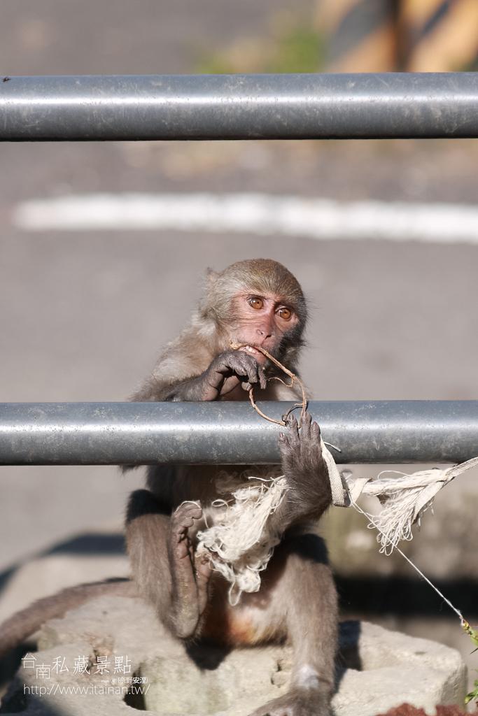 台灣獼猴 (22)