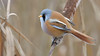 Bearded Tit (Reedling)
