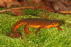 Red Eft - Notophthalmus viridescens, Catoctin Mountains, Maryland