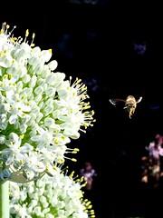 Honey Bee Foraging On Allium Flower Umbel - Edible Passover White Onions <<>> IMG_0986 - Version 3