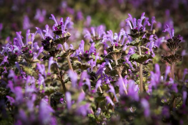 Purple Henbit II