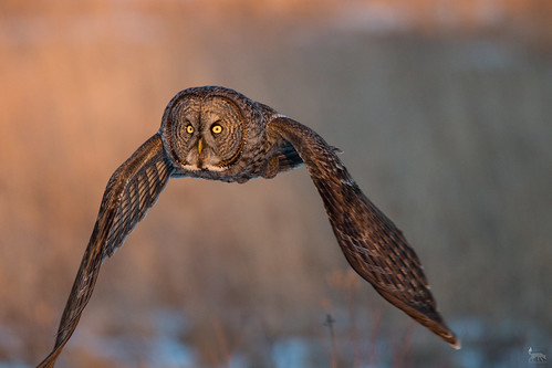 Great Gray Owl on the move