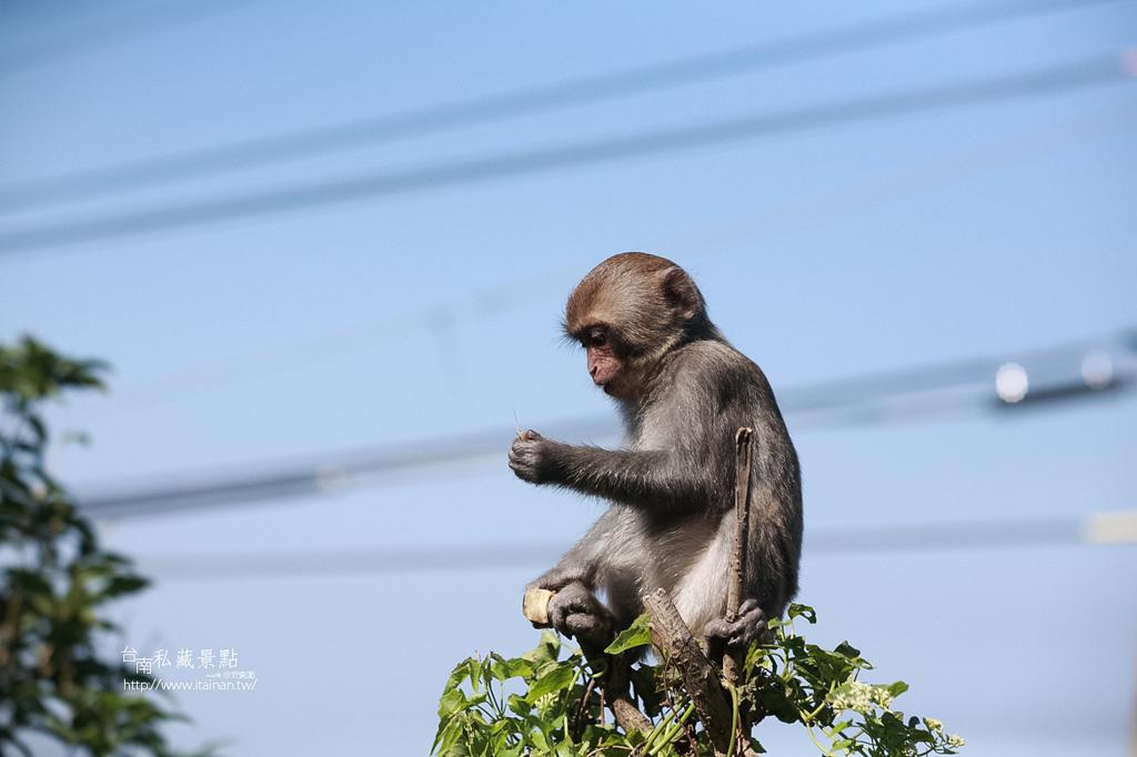 台灣獼猴 (23)