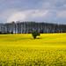Fields of Yellow by PeteZab