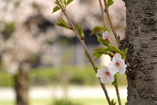 Cherry blossoms in Nagoya castle No.3.