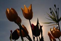 Tulips in the Trädgårdsföreningen Park