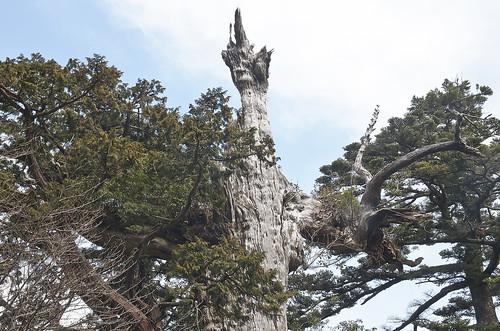 【写真】離島めぐり : 紀元杉