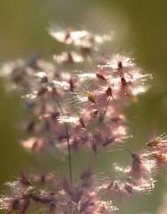 Natal Grass (melinis repans)