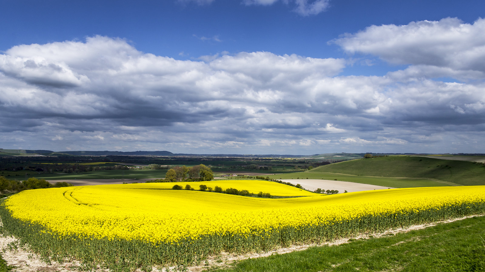 A field of oil seed rape on the side of a down above the Vale of Pewsey