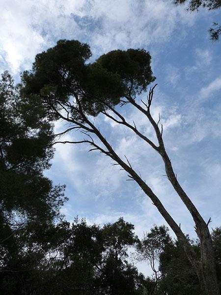 pins au vent