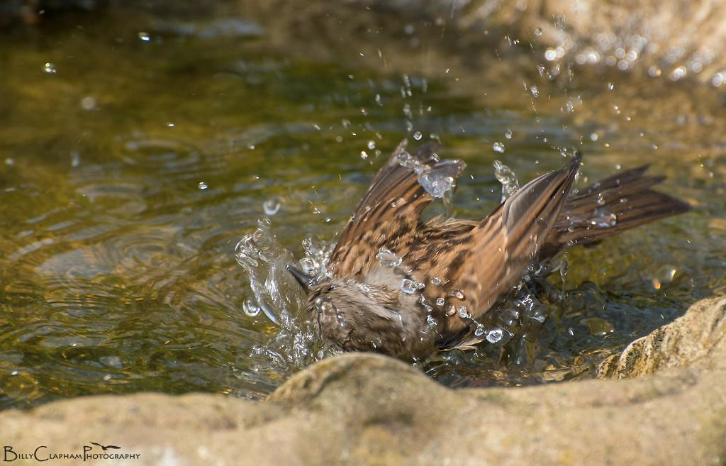 dunnock bird batch high speed