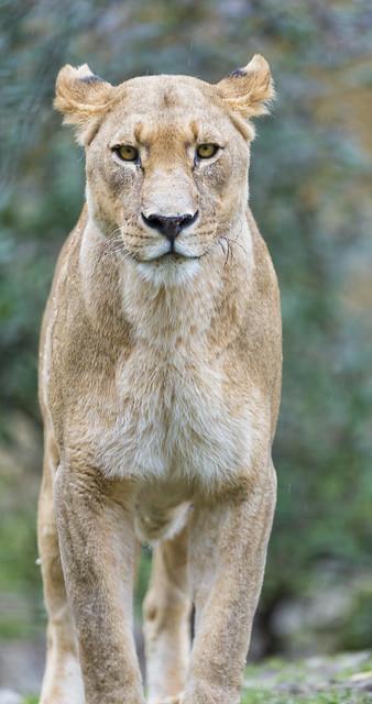 Mean lioness?  ...