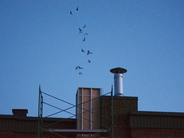 Chimney Swifts in Shawville