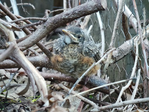 Baby robin chick.