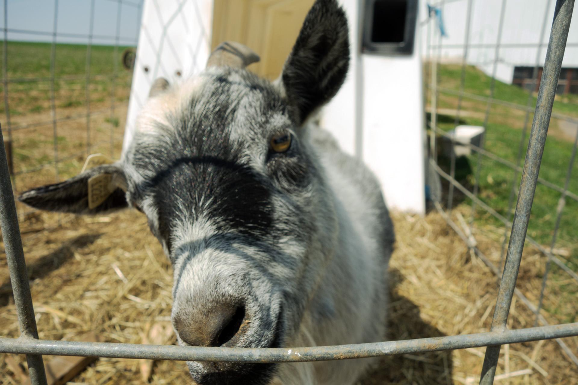 A friendly goat.