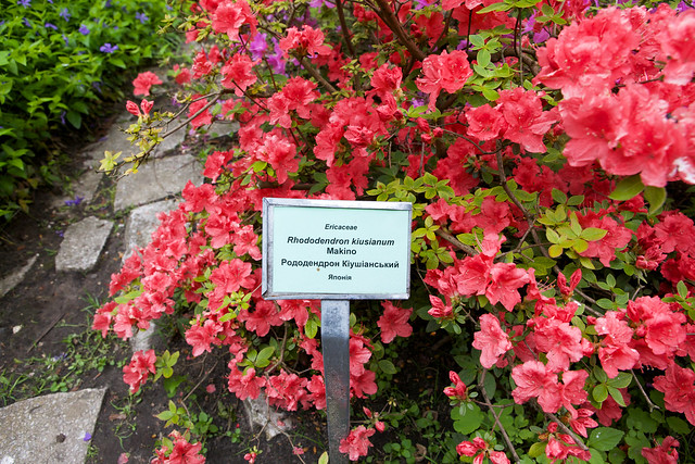 red rhododendron. Botanic garden. Lviv, Ukraine