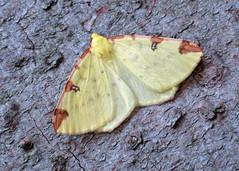 1906 Brimstone Moth - Opisthograptis luteolata