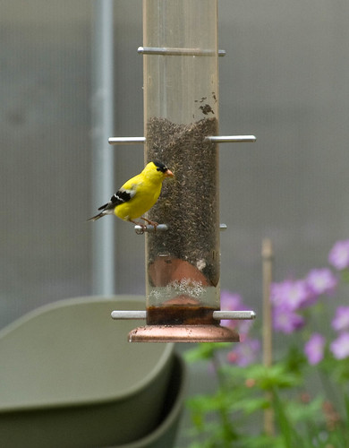 DSC_8828 goldfinch