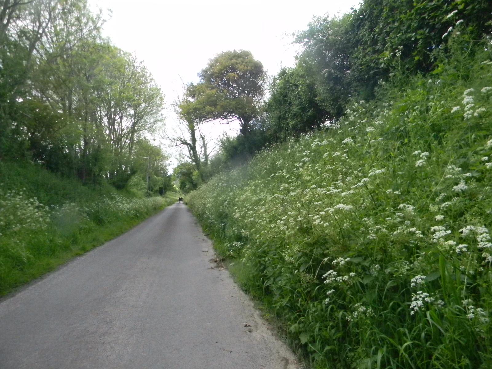 Cow parsley Lewes Circular via West Firle