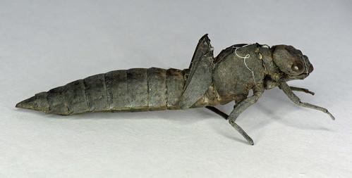 Hairy Dragonfly - Brachytron pratense (exuvia)