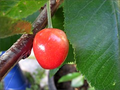 Ripening cherry