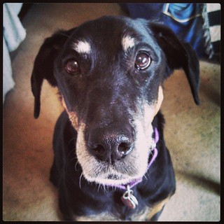 Worried about my baby girl today... #ilovemydogs #ilovemyseniordog #dobermanmix #seniordog