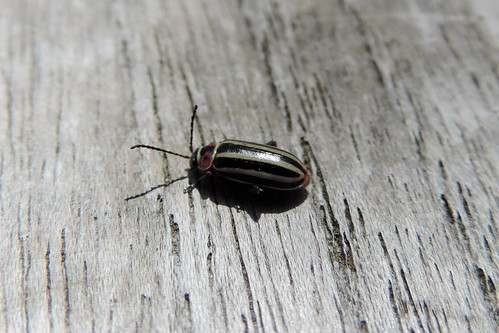 Disonycha - striped flea beetle
