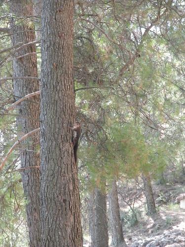 scirus securae, sobre pino halapensis. Torres de Albanchez