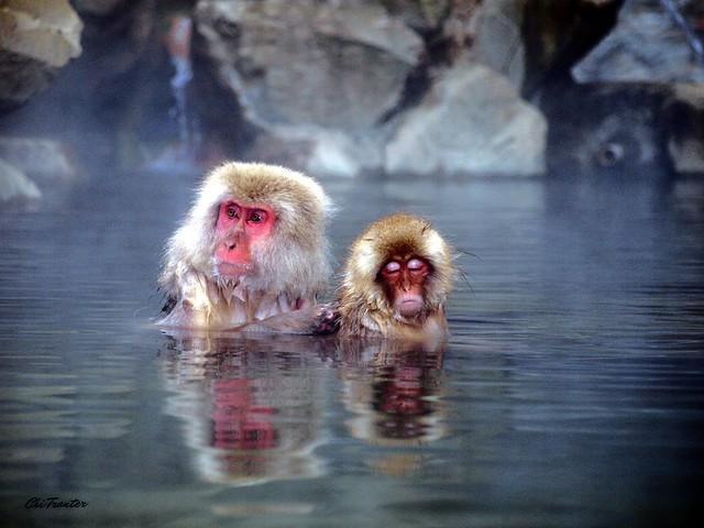 Snow monkeys in hot spring Japan