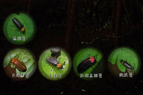 幾種春天時低海拔山區常見的螢火蟲。(圖片攝影:李鍾旻)