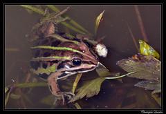 Grenouille verte (Rana kl. esculenta)