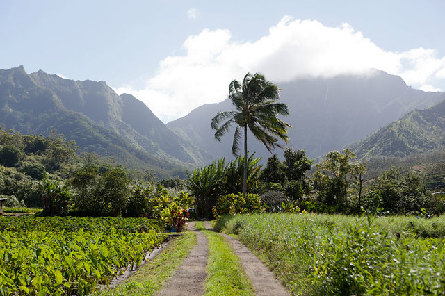 Kauai landscape with taro farm