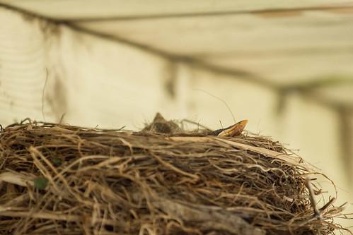 baby ontario birds project spring nest beak robins photoaday 365 inmybackyard project365