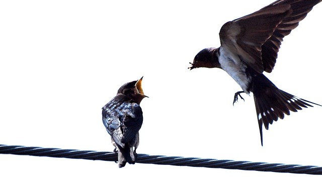 Photo of two birds on a high wire, one of them flying in with an insect in its beak for the other to eat.