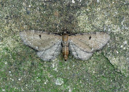 1830 Wormwood Pug - Eupithecia absinthiata