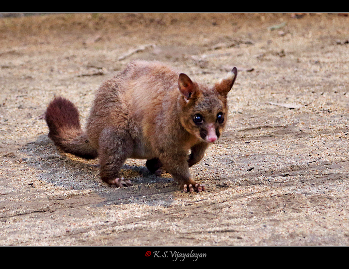 Common Brushtail Possum, Australia