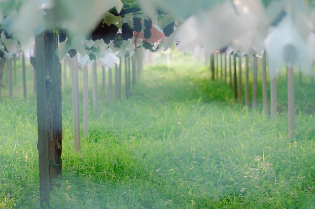 ぶどう畑 : 熟れてきている、待ち遠しい。