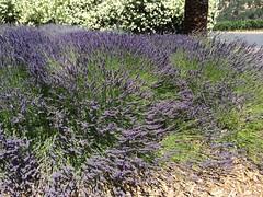 shrub, flower, english lavender, plant, breckland thyme, lavender, lavender, subshrub, herb, wildflower, flora,