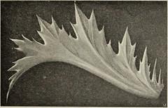 """Image from page 40 of """"Die Ursprungsformen des griechischen Akanthusornamentes und ihre naturlichen Vorbilder"""" (1896)"""