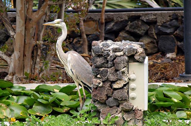 Heron, Risco Bello, Puerto de la Cruz, Tenerife