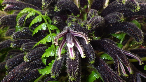Cyanea horrida, a Hawaiian lobelioid, flowering.
