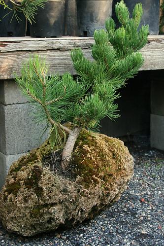 11_bonsai_2