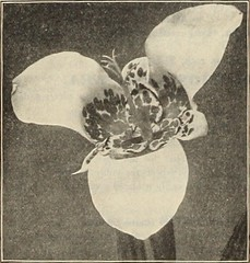 """Image from page 171 of """"Dreer's garden book 1915"""" (1915)"""