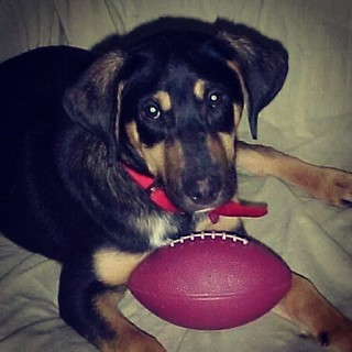 Are you ready for some football?!? We can't wait! #tbt #throwbackthursday Baby Teutul #dogstagram #puppy #rescued #coonhoundmix #adoptdontshop #football #rescue #houndmix #love #toocute #curious