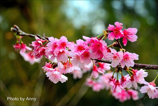 麗池櫻花27