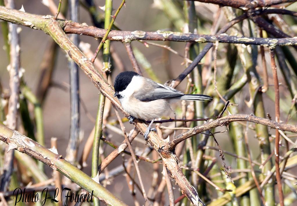 Mésange nonnette ( Poecile palustris )