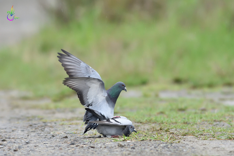 Pigeon_1791