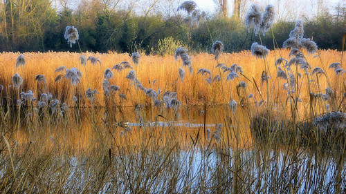 parcdeschantereines nature roselière roseaux lacs hautsdeseine villeneuvelagarenne gennevilliers paysage